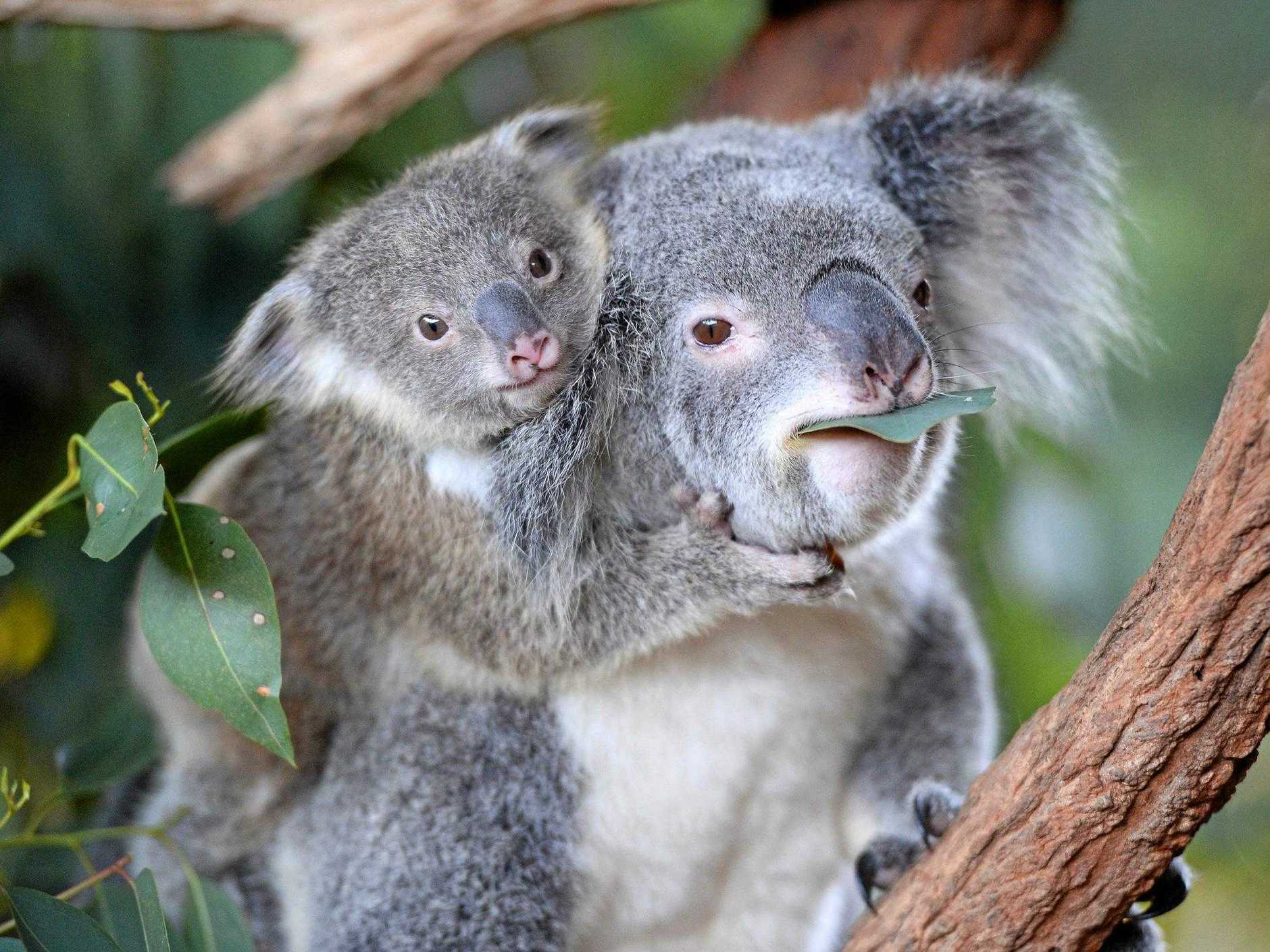 Eleven new koala joeys have been welcomed to the Australia Zoo family, with many making regular appearances.