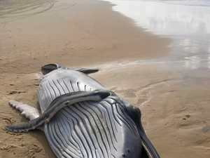 Dead newborn found days ahead of whale watching season