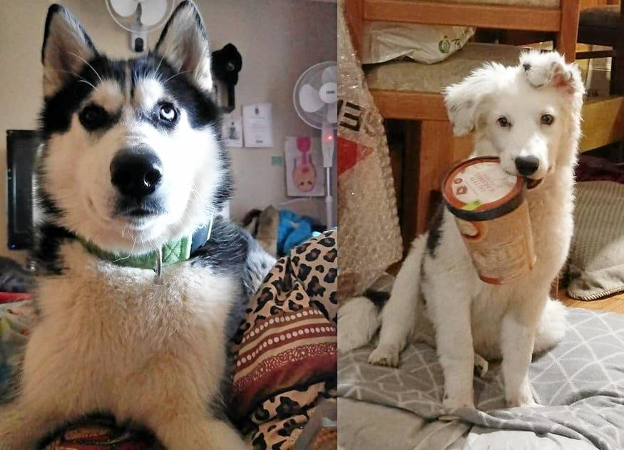 MISSING DOGS: A $2,000 reward is being offered to find Flint and Winter who have been missing since Thursday June 6 after running off out the back of a property near the Waste and Recycling Facility.