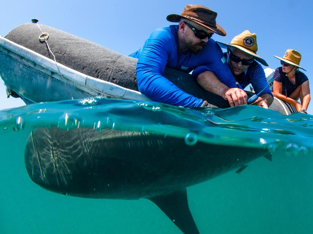 Marine biologists tag a tiger shark as part of the research project. Picture: Erica Heller