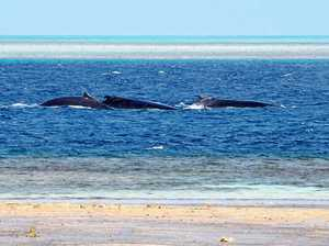 Migrating whales spotted off Heron Island