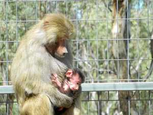 How you can name a baby baboon at Darling Downs Zoo