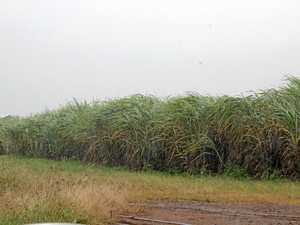 Rain brings cane crushing season to a halt