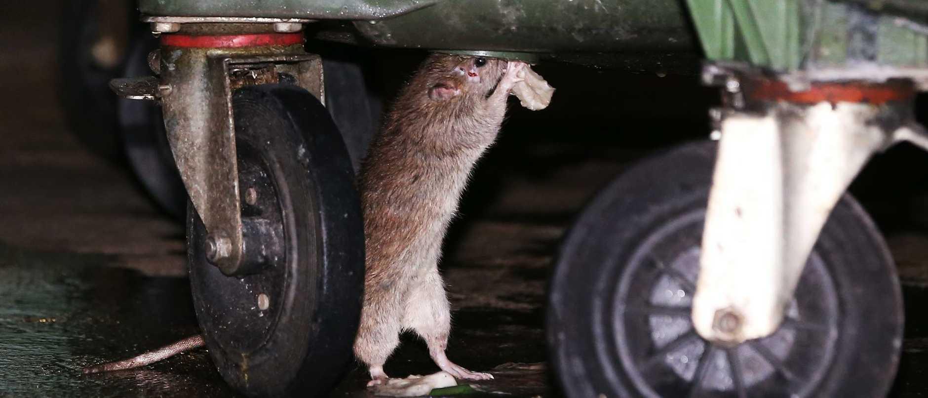 Rat Hunt