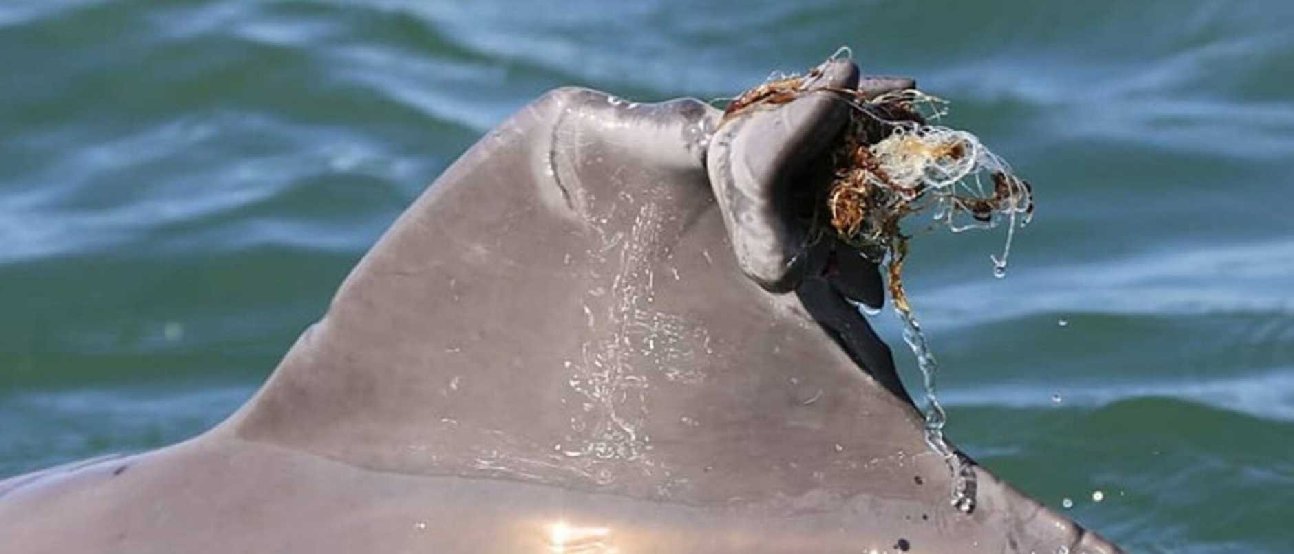 Dolphon injured by fishing line