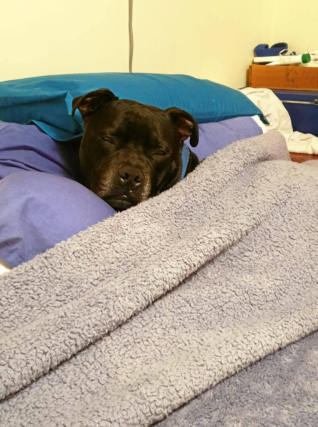 Blue snuggles under the blanket and of course head on pillow.