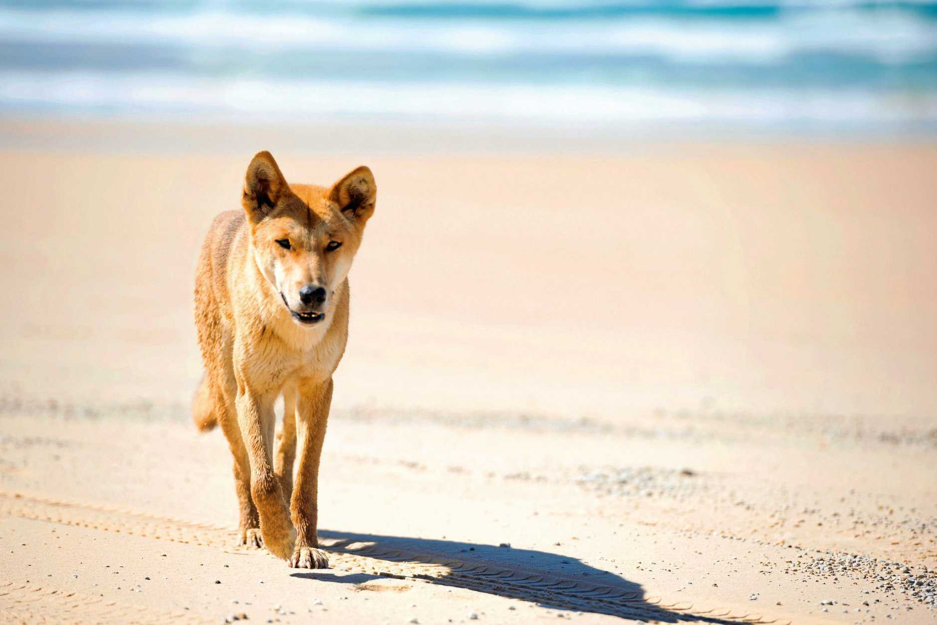 One of the well renowned dingoes of Fraser Island. Photo Lauren Bath/Tourism and Events Queensland