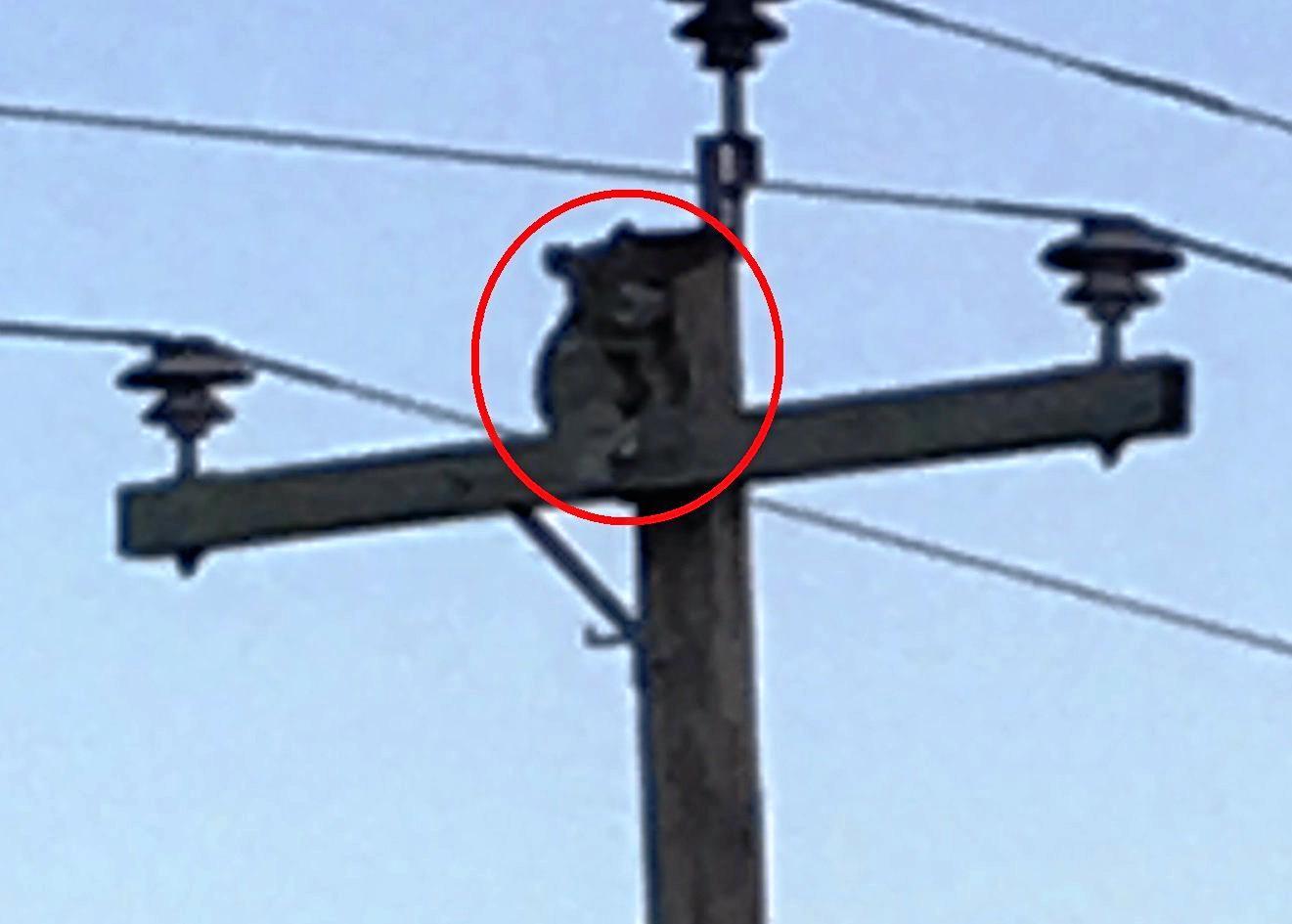 The koala on a power pole on Tin Can Bay Rd, Coondoo.
