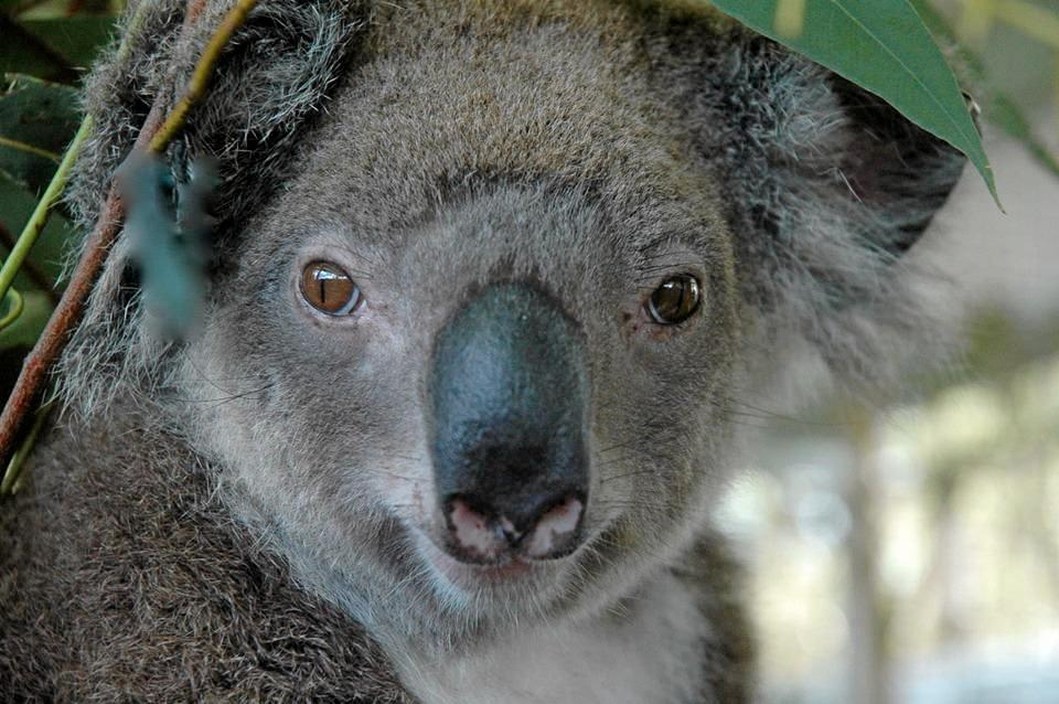 SAVE ME: Kyogle Shire is the last in the Northern River to have a Koala Management Plan.