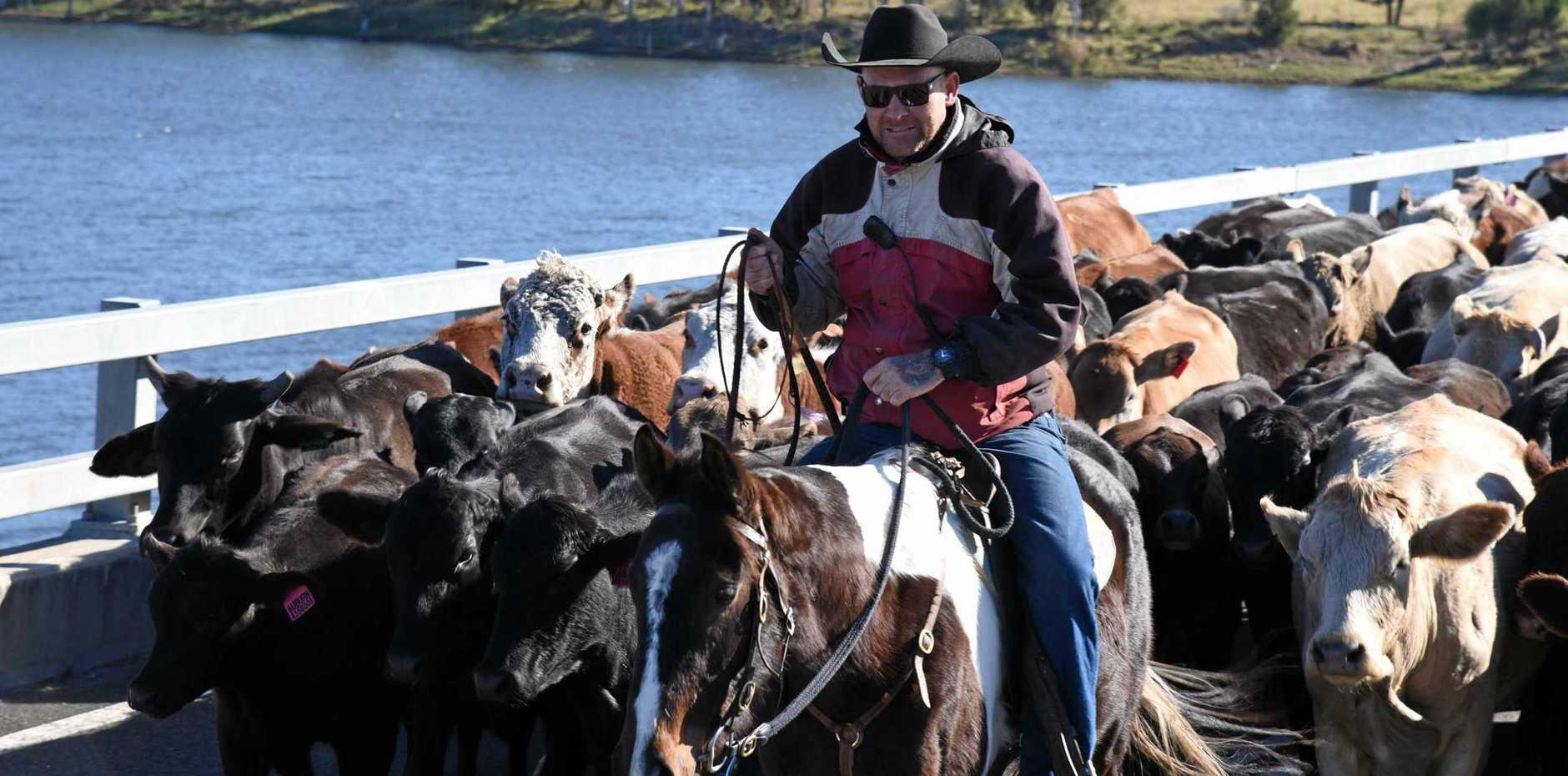 BRIDGE OF BOVINES: Drover Shaun Moffitt leading his herd across Mingo Crossing Bridge on Monday, July 15.