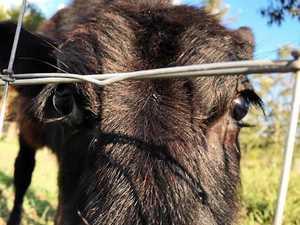 Beautiful bovines