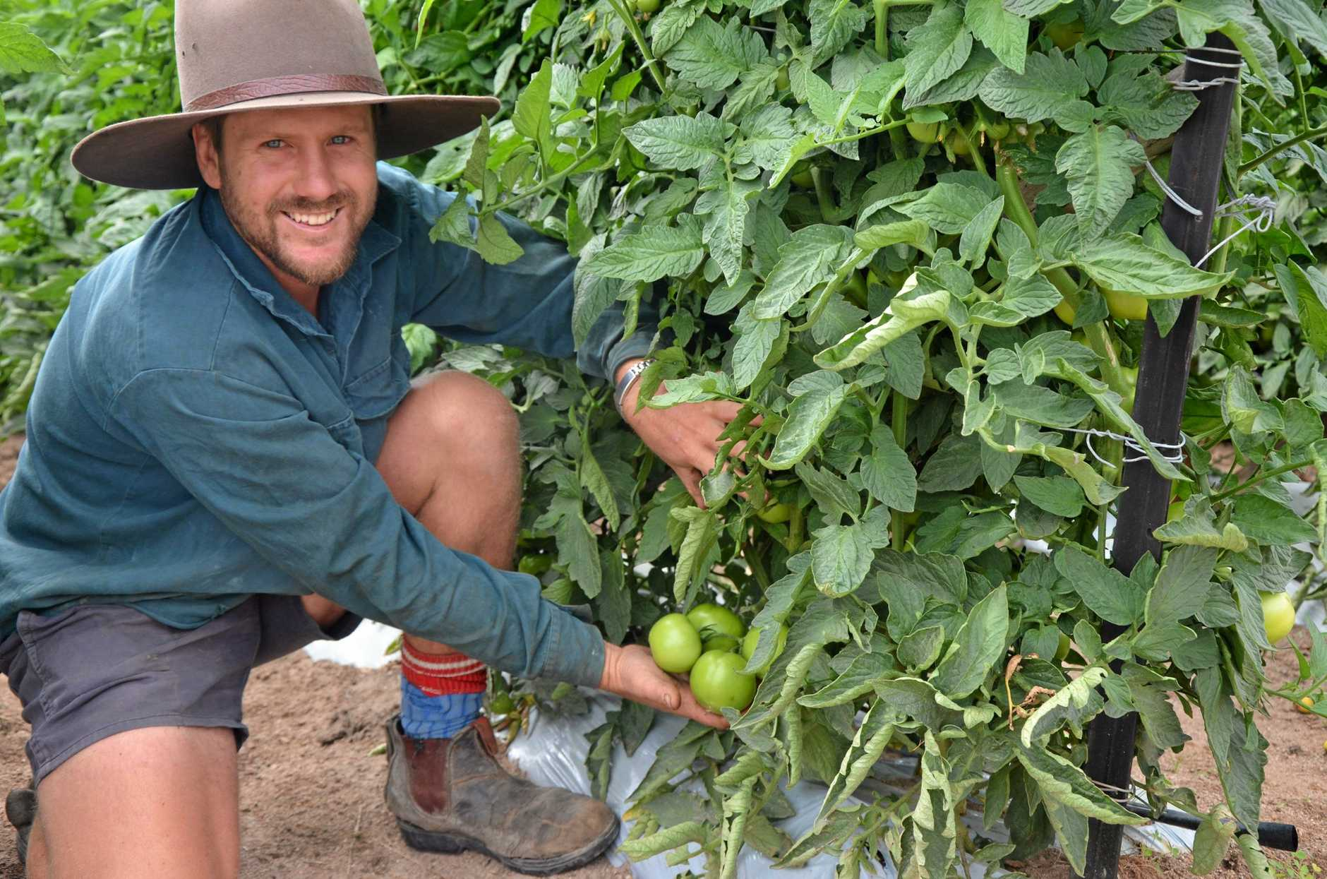 TECH LEADER: David Andreatta received $250,000 from the Queensland Government to install an automated tomato sorting system. It will scan each piece of fruit 500 times using cameras and sensors program to pick up specific defects.