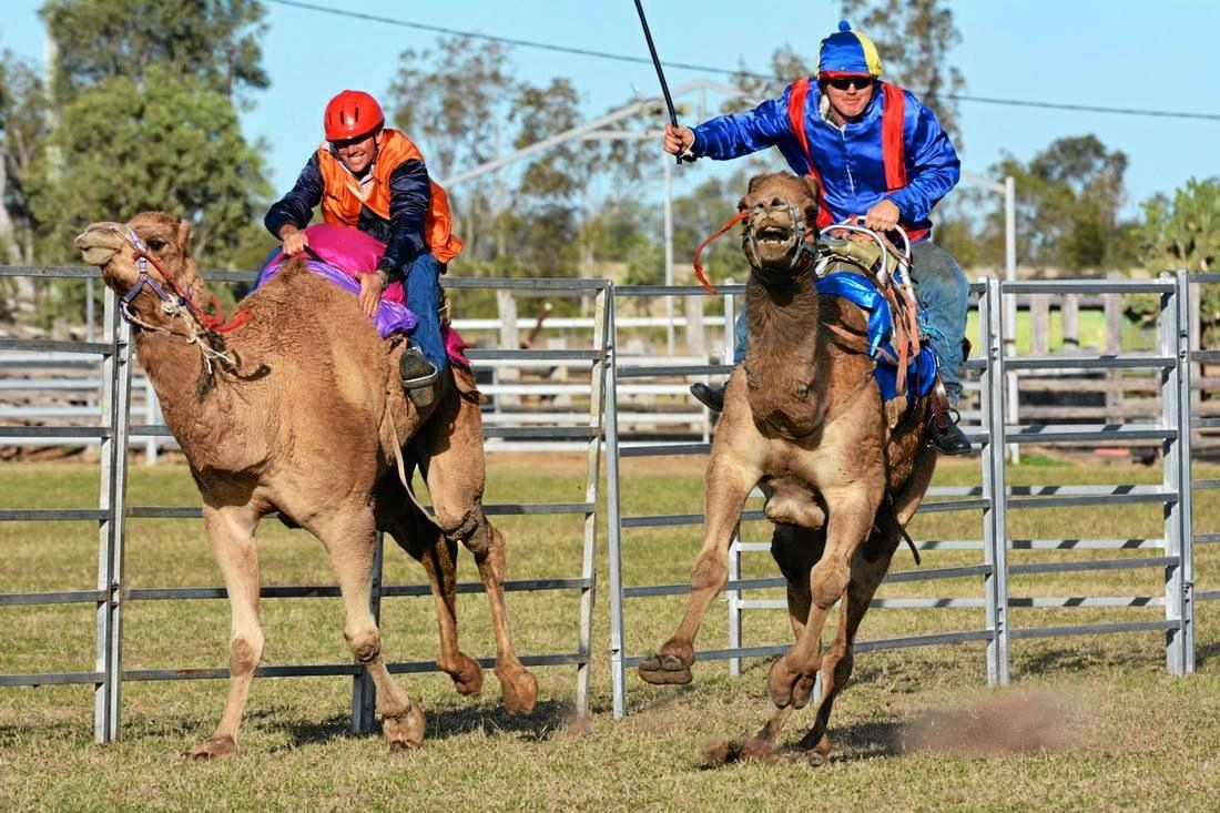 CAMEL RACES: There'll be plenty of action and fun at the Wandoan camel races this weekend.