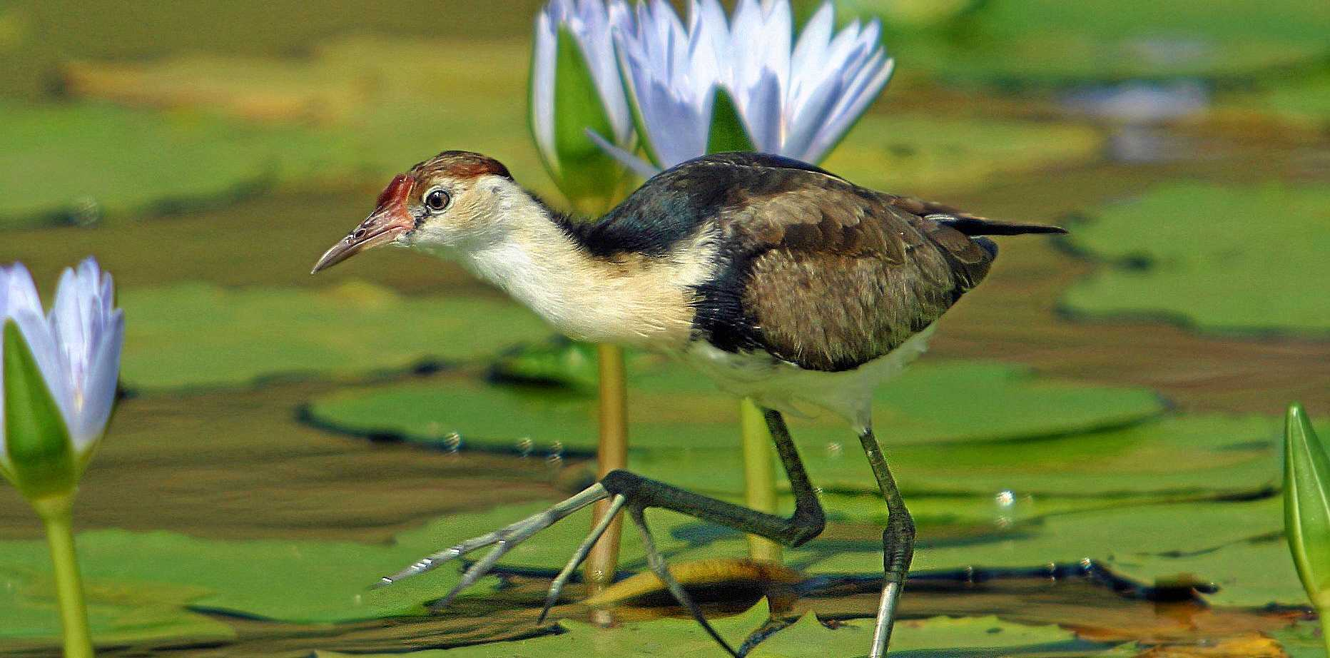 SPOTTED: A comb-crested Jacana.