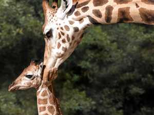 US star names new Australia Zoo giraffe