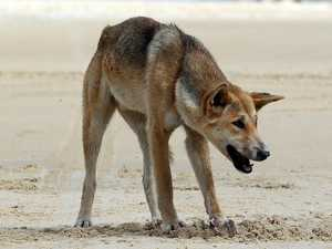Push for levy to help control dingoes