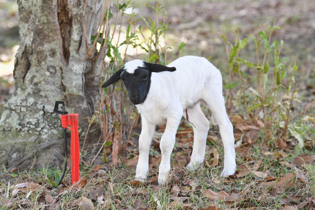 Hervey Bay High School agriculture department - new born lamb.