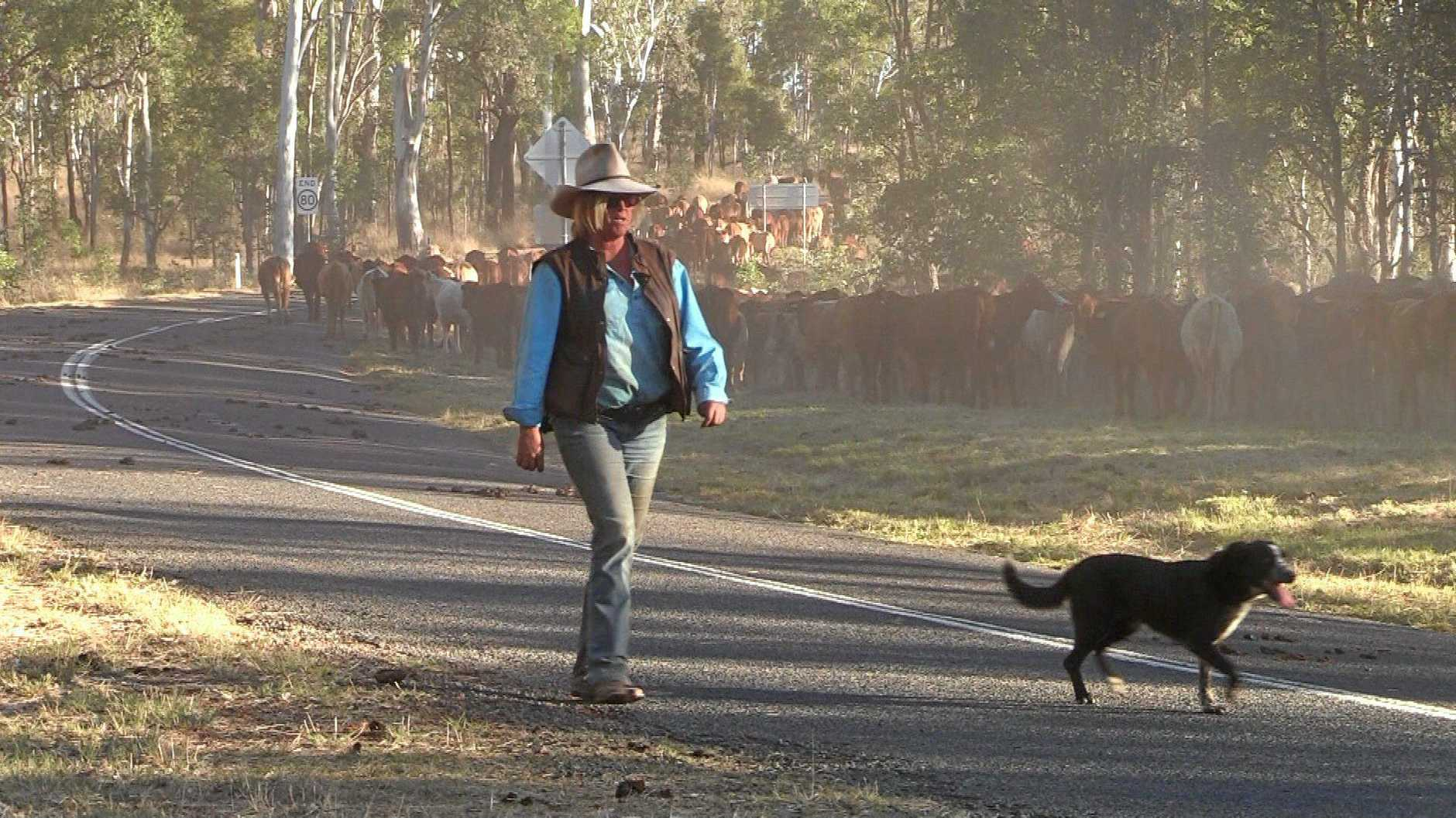WORKING HARD: Drover Karen Mason at work as she moves her mob of 1332 cattle through the South Burnett.