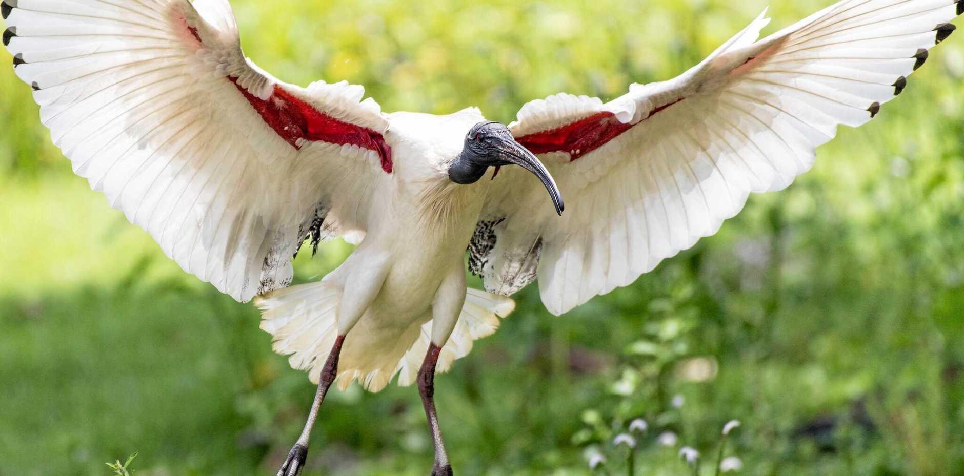 An ibis, also referred to colloquially as a 'bin chicken'.