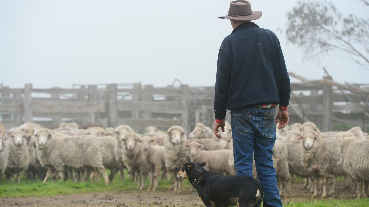 Lambs at Glenhope
