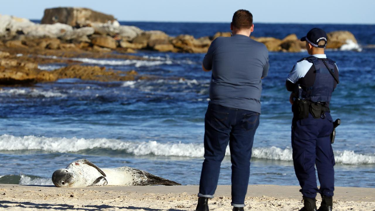 ORRCA said it appears the seal is simply resting after a long journey. Picture: Sam Ruttyn