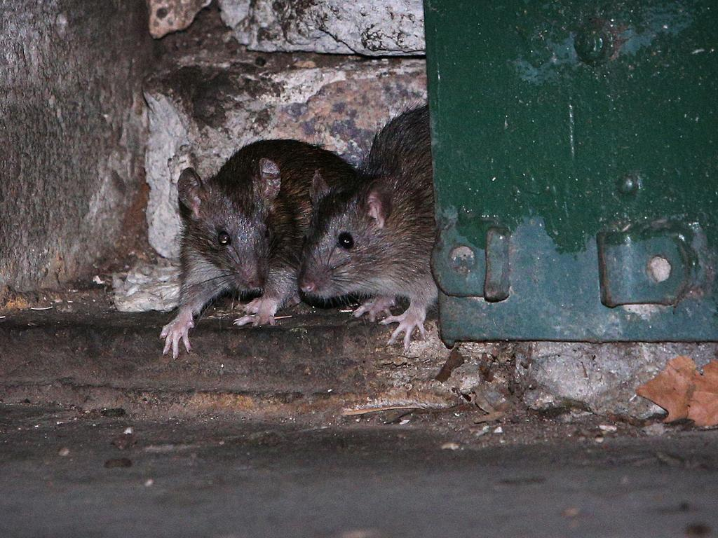 Rats in a Surry Hills laneway. Picture: Richard Dobson