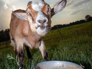 UPDATE: Person taken to hospital after Bauple goat attack