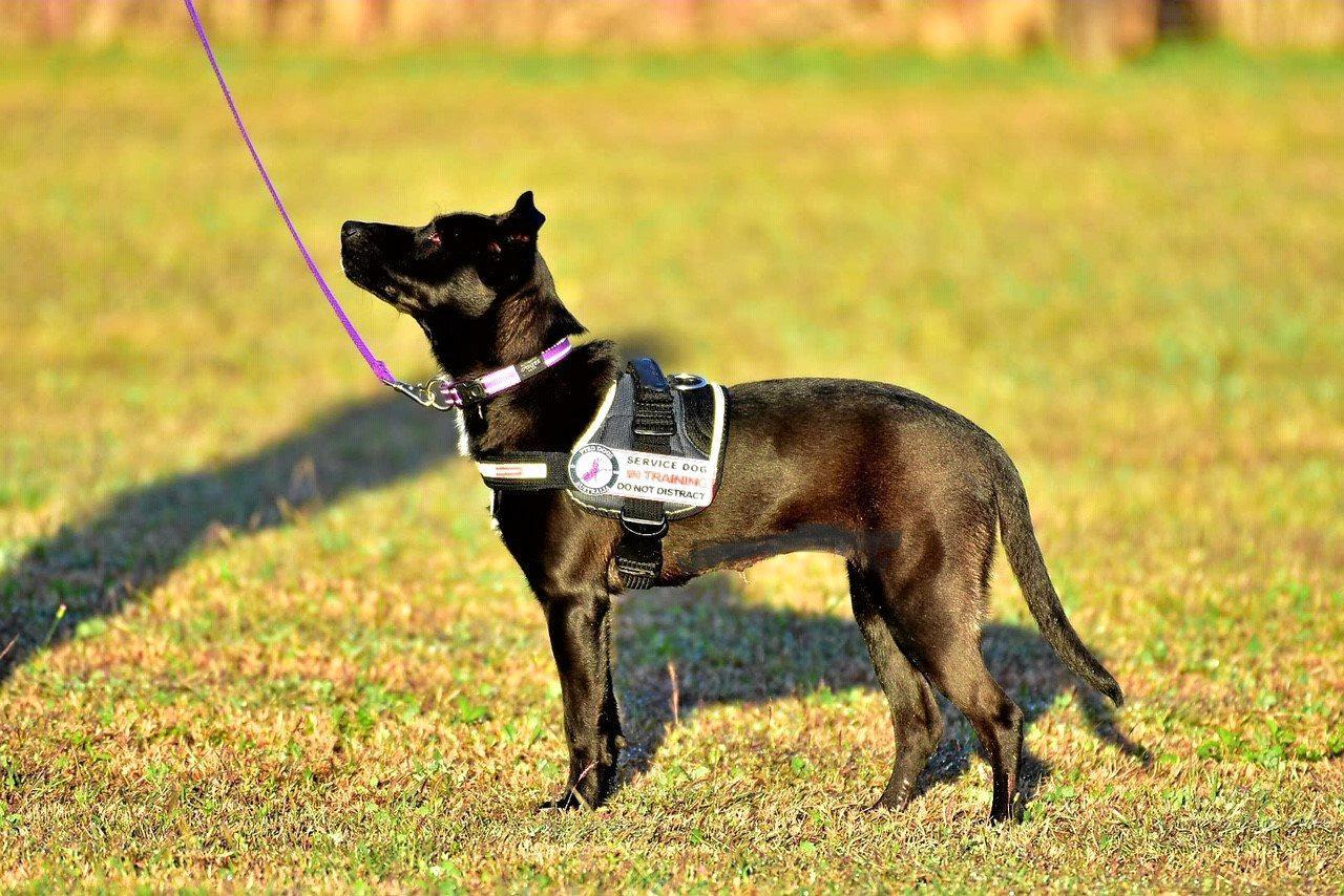 PTSD service dog in training Nova.