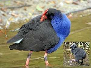 BRIGGSY'S BIRDS: Familiar sight around Gladstone waterways
