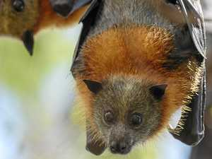 New rules to help manage flying foxes
