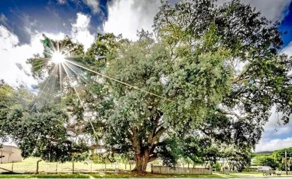 ENORMOUS: Tenterfield's giant cork tree, still growing in Wood Street, was brought from England by Edward Parker in a jam tin in 1861.