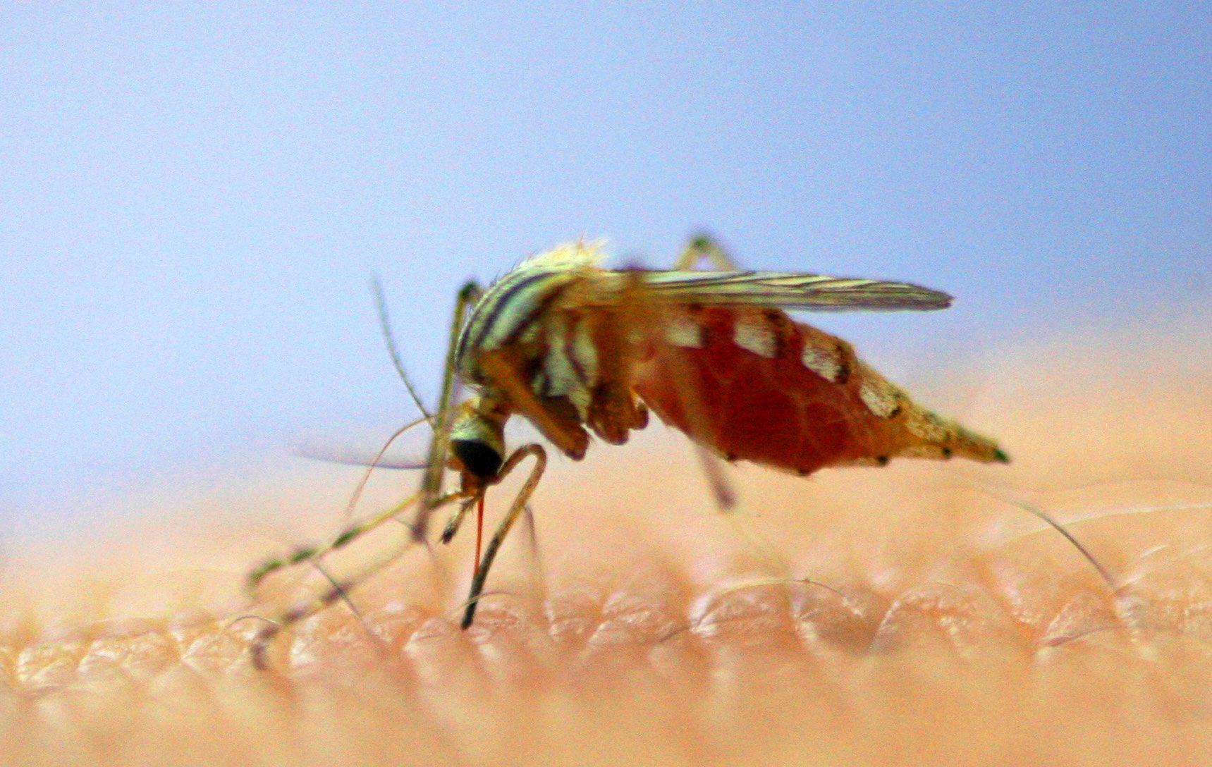 BLOOD SUCKER: Cases of Ross River virus cases are on the rise in the North Burnett for 2019.