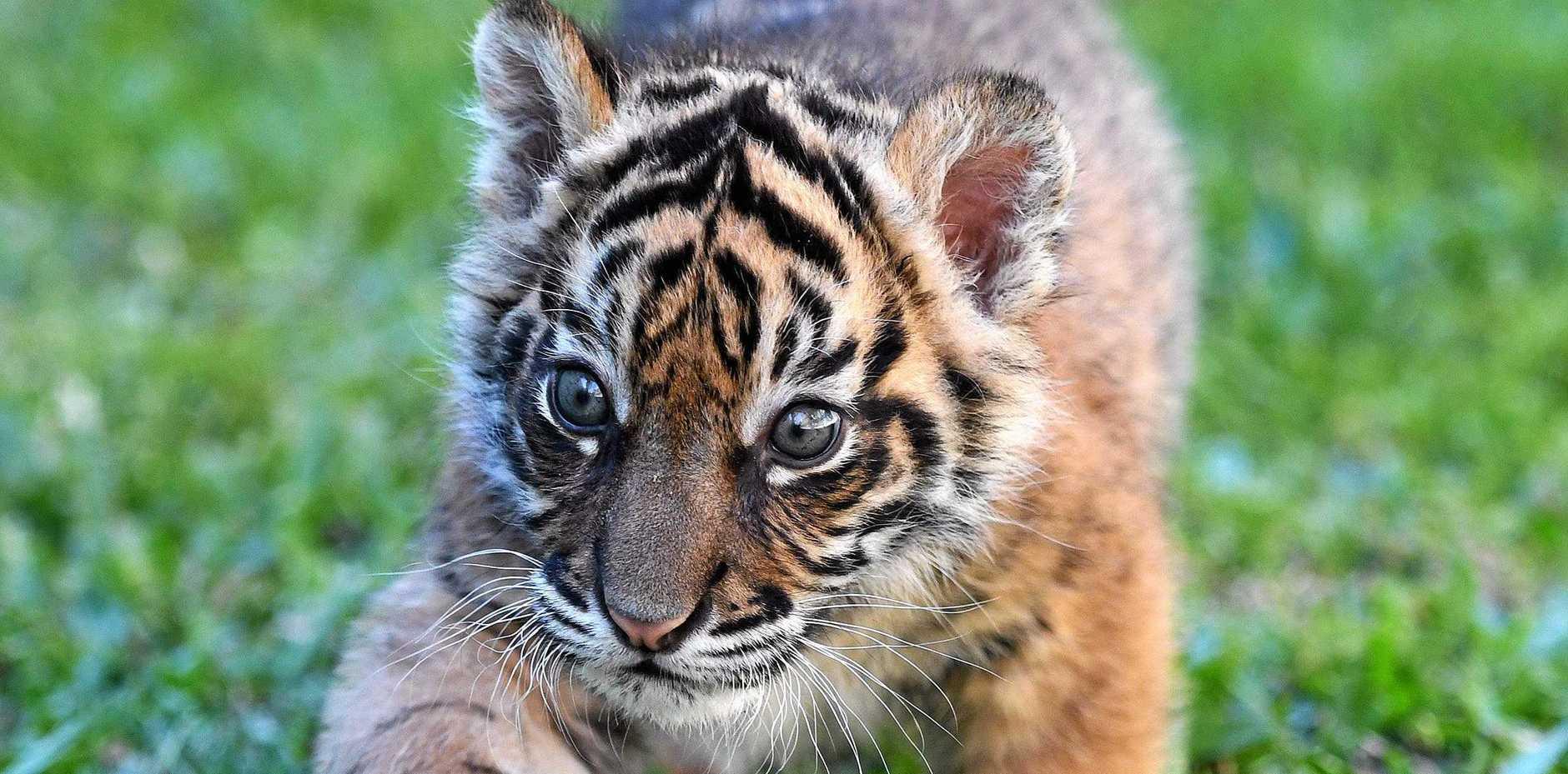 Sumatran tiger cub Nelson for International Tiger Day.
