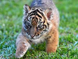 Adorable new tiger cub really earning his stripes