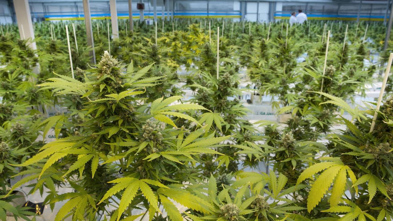 Plants being grown for Medicinal Cannabis Oil. Photo Lachie Millard