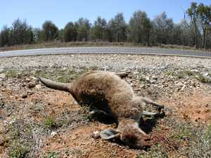 Close call with some roos lately? Coast cop has safety tips