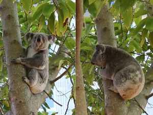 Koala roaming, snoozing around Toowoomba USQ campus