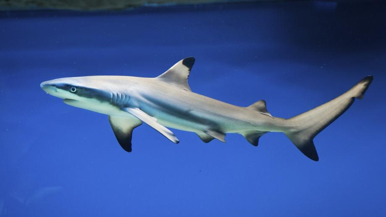 Carcharhinus melanopterus - blacktip reef shark. Picture: supplied