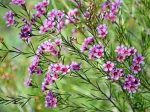 Waxing lyrical about best-selling Australian wildflower
