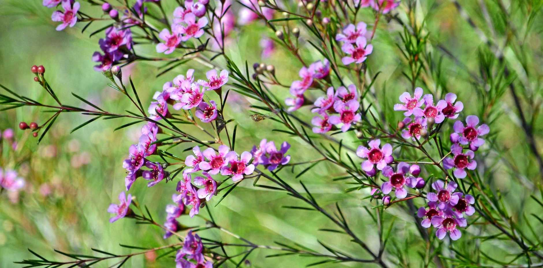 Geraldton wax flowers in late winter and spring, when each of its wispy branches becomes covered in simple, five-petalled flowers about 1-1.5cm in diameter, in shades of white, pink or mauve.