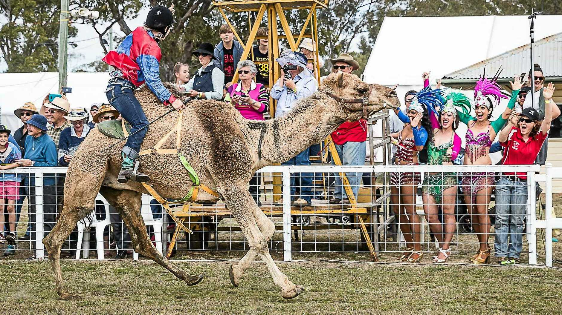 CAMELS AND CULTURE: The famous camel races are a huge draw card for crowds visiting the Tara Festival of Culture.