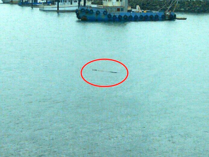 A crocodile was spotted swimming inside the Mackay Marina.