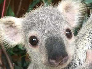 'Just adorable': Koala joey named Australia's cutest