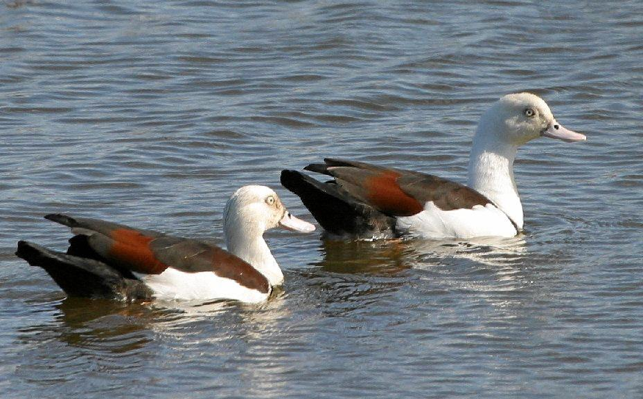 PROTECTED SPECIES: The Radjah Shelduck is one of the bird specieis which has spread itself to cover a larger habitat range.