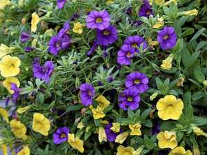 Spreading the word on close cousin of petunias