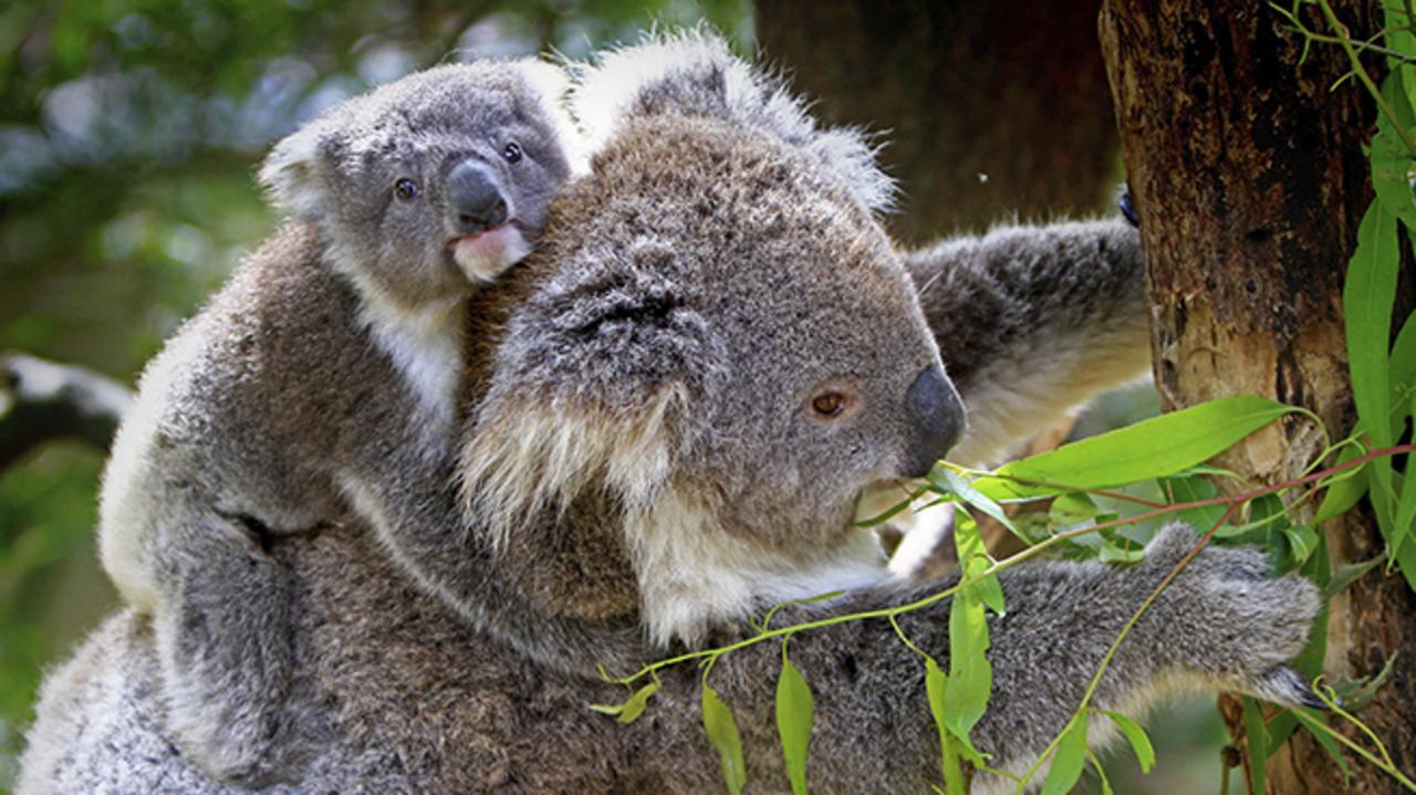 ON THE MOVE: New research shows almost a quarter of the koalas in northern NSW travel up to 16.6km in their search for new habitats.