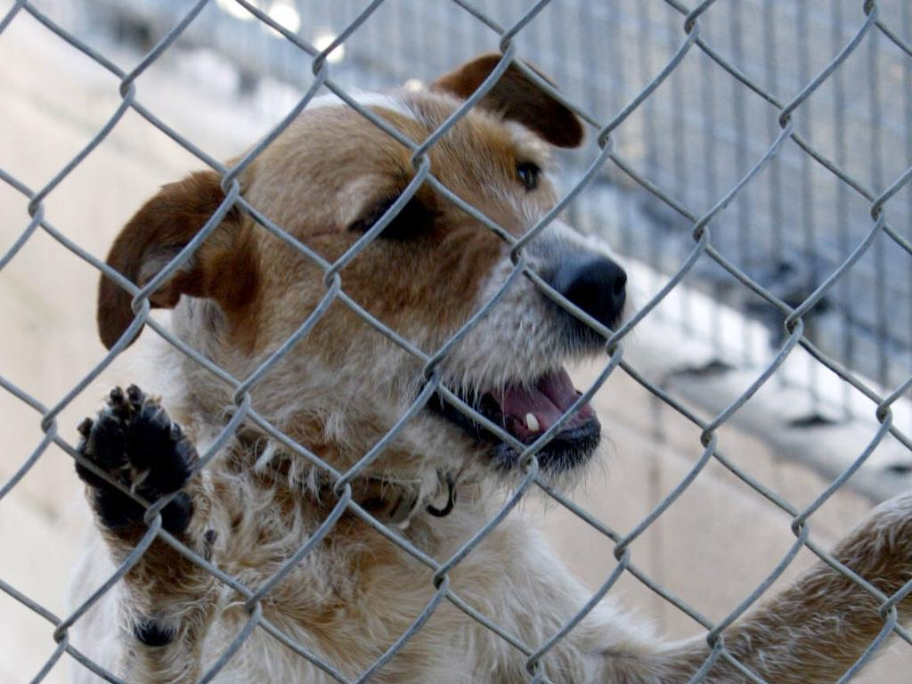 """In 2017-18, 71 dogs (17.3 per cent) and 60 cats (20.61 per cent) were euthanised at Tweed Shire Council Pound - an """"average level"""" when compared to other NSW councils. Picture: Geoff McLachlan"""