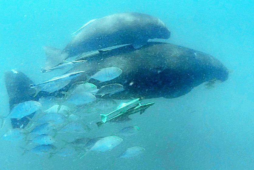 Dugong and Calf at Great Keppel Island