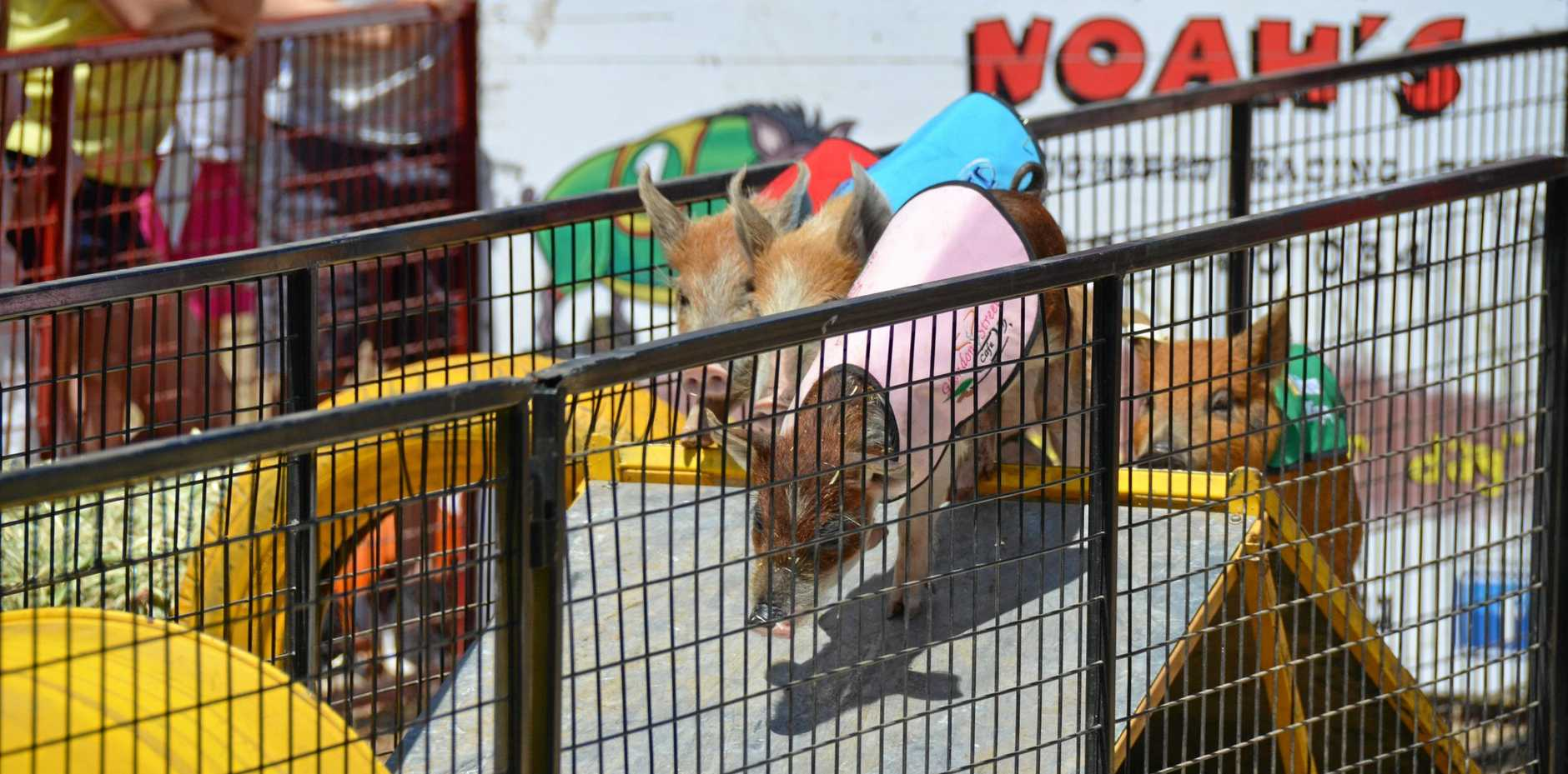 RACING WITH A DIFFERENCE: Pigs will be off and racing at the South Burnett Community Family Fun Day.