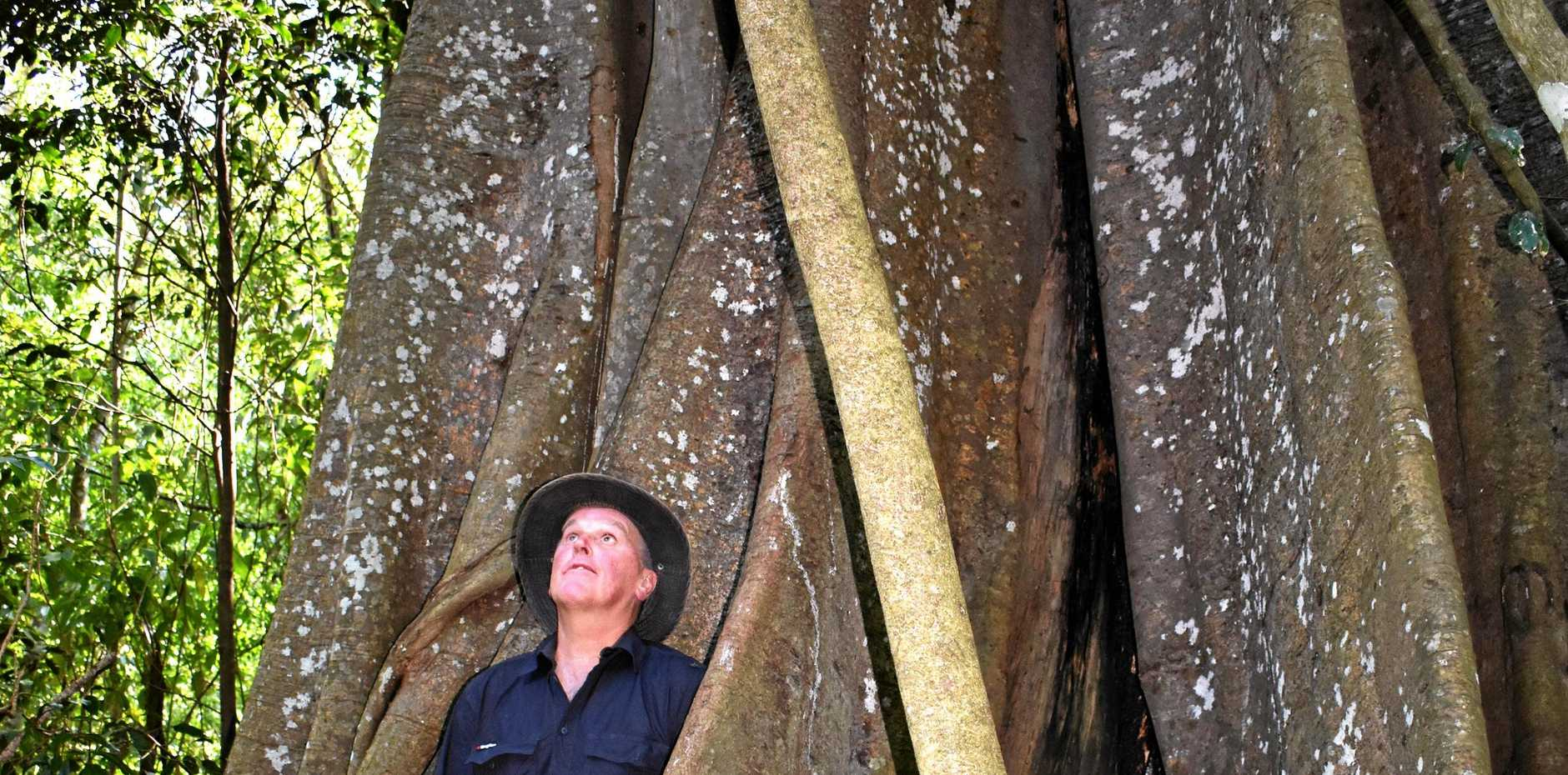 Rob Drury from Kyogle Llandcare next to the huge strangler fig tree at Moore Park Nature Reserve on Findon Creek Rd, out of Wiangaree.